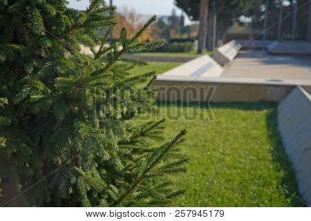 Pine Tree Closeup . Pine Branch Shot In Natural Forest. Small Pince Branch Shot In Countryside Villa