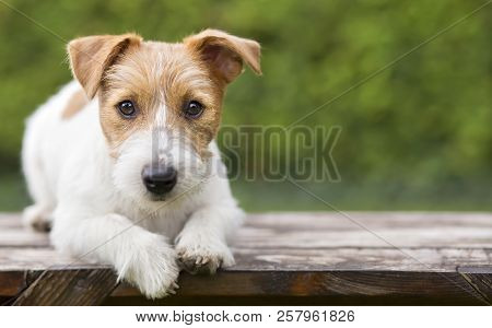Pet Training Concept - Smart Happy Jack Russell Terrier Dog Puppy Looking To His Owner - With Blank,