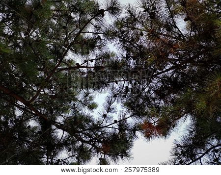 Backgrounds Beauty In Nature Branch Coniferous Tree Day Directly Below Forest