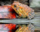 Camouflaged frog in forest colors by fallen leaf and puddle poster