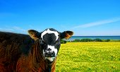 Dairy cow in pretty pasture by ocean poster