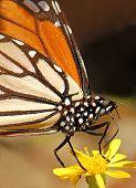 Monarch butterfly on dandelion flower poster