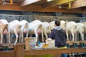 Rear view of white goats, in a mechanized milking parlor. A woman farmer prepares electric milk equipment for milking goats. Bony udders and hooves of visas from behind. Goats are waiting for milking. poster