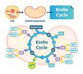 Krebs cycle vector illustration. Citric tricarboxylic acid labeled scheme. Educational diagram with cell, cellular respiration and ATP. Human power molecular metabolism. poster