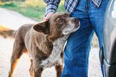 Adorable brown mutt being petted by man while looking attentively ahead. poster