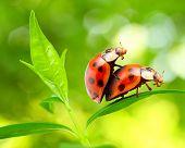 Love-making ladybugs couple on a tea leaf. Love metaphor. poster