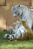Details of a wonderful white tiger in Miami Florida USA poster