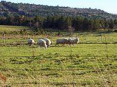 sheep grazing. poster