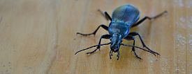 Carabus Coriaceus Is A Predatory Beetle, The Largest Representative Of The Family Of Beetles In The