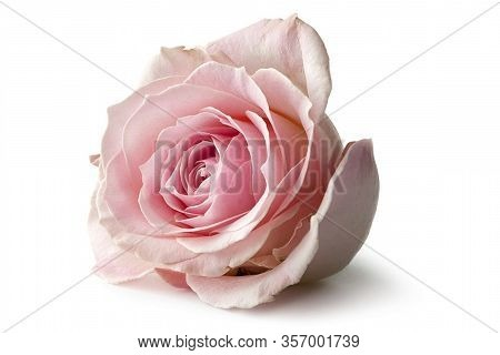 Close Up Of Rose Flower. Pink Rose, Red Rose, Rose Background, Rose In Nature, Rose Images, Portrait