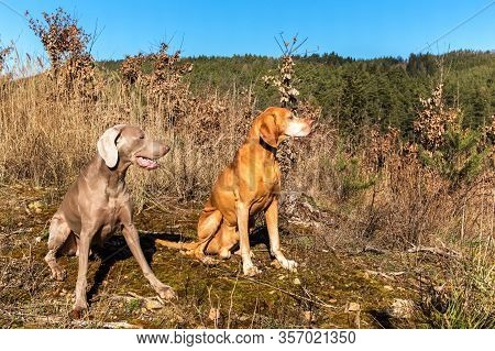 Weimaraner And Hungarian Pointer (vizsla) In The Forest. Training Of Hunting Dogs. Spring Walk In Na