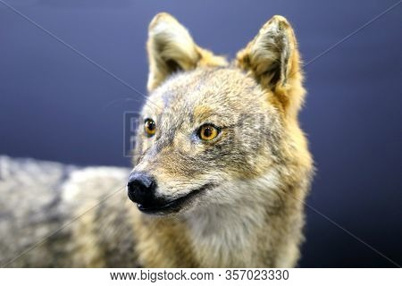 Head Of Golden Jackal Wild Dog Canis Aureus, On Black Background