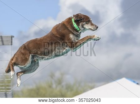 Chocolate Lab Jumping Off A Dock Caught In Mid-air Dock Diving