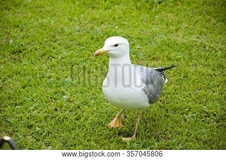 Sea Gull Standing On Green Grass In Park. Seagull Portrait Against Green Grass. Gull Walk In Italy P