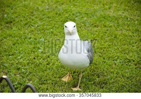 Portrait Of Gull Sitting In Grass. White And Grey Seagull. Gull Walk In Italy Park. Beautiful And Fu