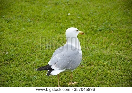 Seagull Walks On Green Grass. Gull Walk In Italy Park. Beautiful And Funny Seagull On Green Grass. T