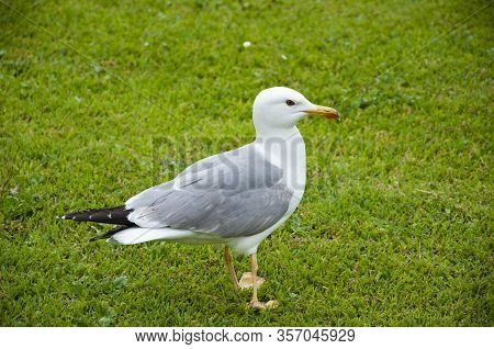 Wild Seagull With Natural Green Background. Gull Walk In Italy Park. Beautiful And Funny Seagull On