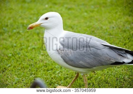 Bird Bonapartes Gull On The Grass Outdoor. Gull Walk In Italy Park. Beautiful And Funny Seagull On G
