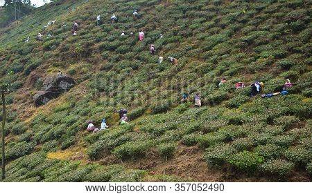 Darjeeling, India- December 27, 2019: Women Carrying Fresh Tea Leafs In The Basket At Tea Garden In