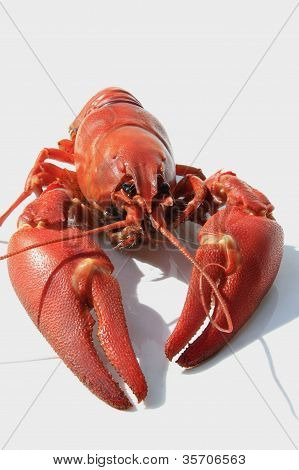 Lobster ready for dinner party. Deep red on whit background. poster