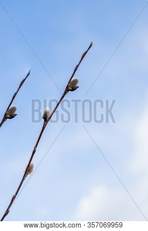 Branches With Young Willow Inflorescences In Spring Morning On A Background Of Blue Sky Close-up.spr