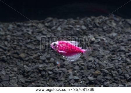 Aquarium Fish. Black Tetra. Gymnocorymbus Ternetzi. Bright Glowing Colors. Animals. Dark Background.