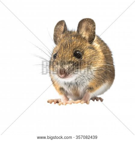 Cute Wood Mouse (apodemus Sylvaticus) Isolated On White Background. This Cute Looking Mouse Is Found