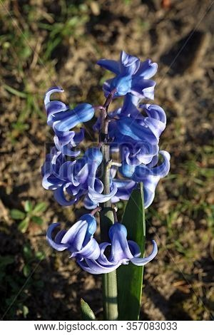 Hyacinthus Orientalis Flower Macro Background High Quality Fifty Megapixels Asparagaceae Family