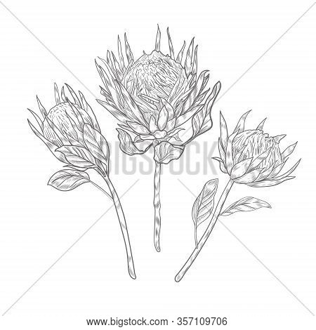 Three Protea Flowers On The Long Stems Sketch. Protea Flower Vector Hand Drawn On White Background.