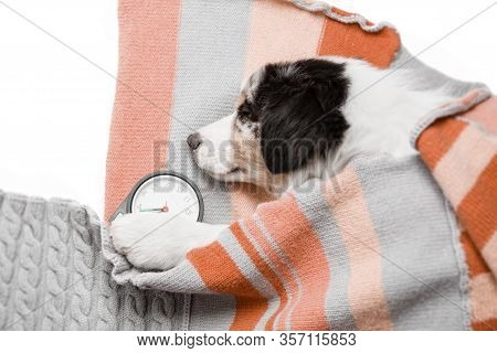 Colorful Funny Tired Little Puppy Australian Shepherd Aussie Sleeping Sweetly About The Alarm, It Is