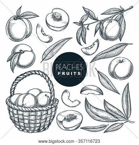 Peaches On Branch And In Basket, Sketch Vector Illustration. Sweet Fruits Harvest, Hand Drawn Garden