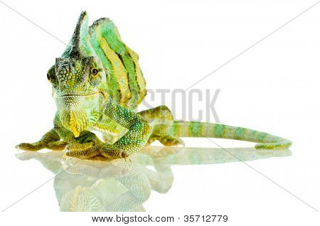 small Chameleon. Isolation on white