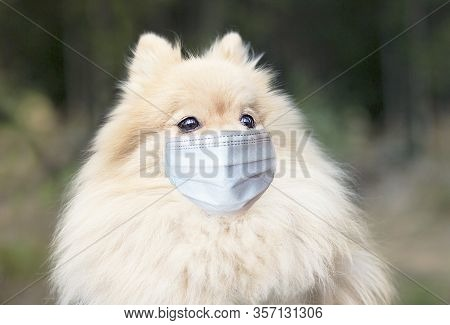 Cute Pomeranian Spitz Dog, Nice Animal, Puppy In Protective Sterile Medical Mask On Face. Chinese Wu