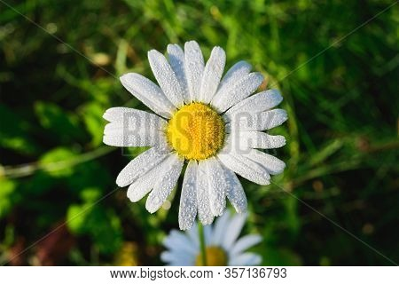 Fresh White Daisy With Dewdrops Or After Rain On Green Meadow Gras Background, Close-up Top View, Ho
