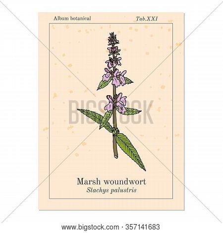 Marsh Woundwort Stachys Palustris , Or Hedge-nettle, Medicinal Plant. Hand Drawn Botanical Vector Il
