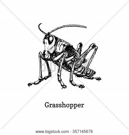 Illustration Of A Grasshopper. Drawn Insect In Engraving Style. Sketch In Vector