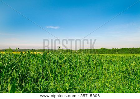 Field of corn against the dark blue sky