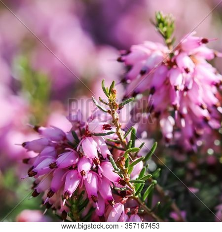 Pink Erica Carnea Flowers (winter Heath) In The Garden In Early Spring. Floral Background, Botanical