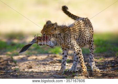 The Cheetah Cub (acinonyx Jubatus), Also Known As The Hunting Leopard. Young Cheetah With The Head O