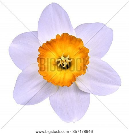 Flower Yellow White Narcissus,  Isolated On A White  Background With Clipping Path. Close-up. Nature