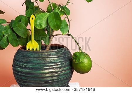 Home Gardening: Lemon Tree In A Pot On A Pink Background And Tools For Plant Care.