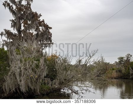 Trees Growing In A Swampy Area, With Moss-draped Epiphytes Such As Spanish Moss Surviving Over Its T