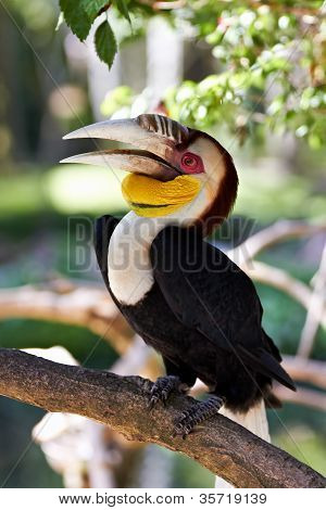 Bar-pouched Wreathed Hornbill (Rhyticeros undulatus) in nature surrounding Bali Indonesia poster
