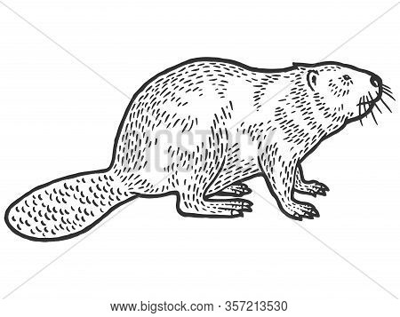 Beaver Rodent Mammal. Scratch Board Imitation. Black And White Hand Drawn Image. Engraving Vector
