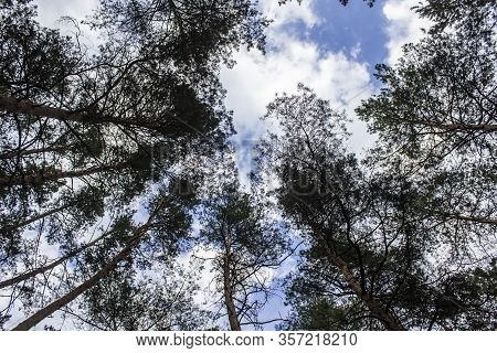 Tall Dry Pine Trees Against The Blue Sky. Beautiful Coniferous Trees Against The Blue Sky. The Tops