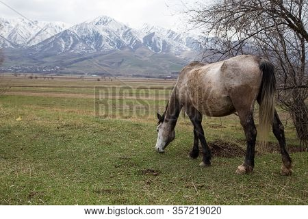 Horses Graze In A Meadow In The Mountains. Grazing Livestock.
