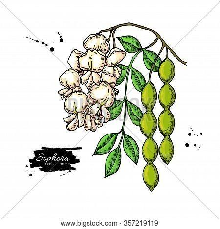 Sophora Japonica Vector Drawing. Hand Drawn Botanical Branch With Flowers, Pod And Leaves