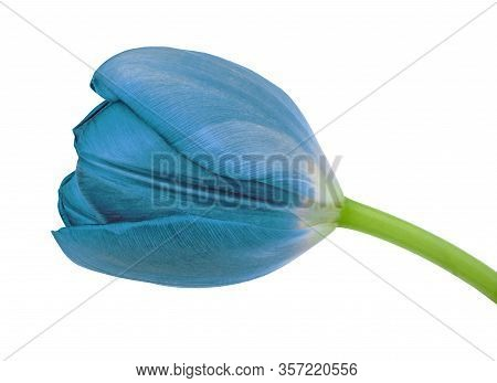 Cerulean Tulip Flower Isolated On A White Background With Clipping Path. Close-up. Flower Bud On A G