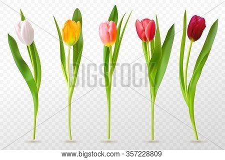Colorful Tulips. Beautiful Tulip Buds, Spring Flowers Design For Greeting Card 8 March Or Mothers Da