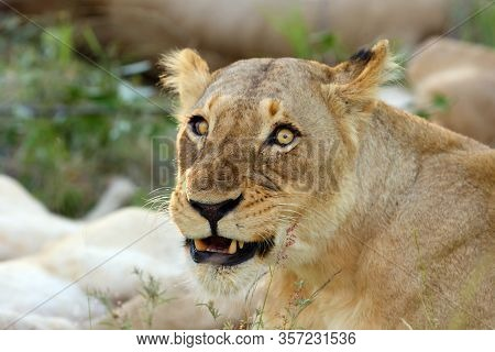 The Lion (panthera Leo),portrait Of A Lioness, Lioness Protecting Her Lion Cubs.